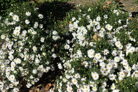 Flowering white Symphyotrichum dumosum in the garden in October Imagens