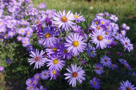 Bright violet flowers of Symphyotrichum dumosum in October