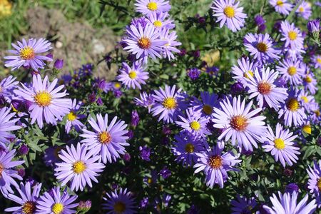 Close view of violet flowers of Symphyotrichum dumosum in October