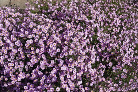 Abundance of pink flowers of Symphyotrichum dumosum in October Imagens