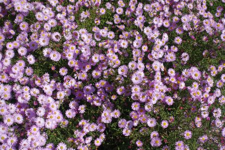 Aster dumosus with lots of pink flowers in October Imagens
