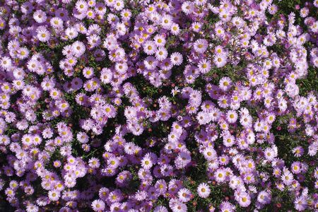 Background - pink flowers of Symphyotrichum dumosum in October Фото со стока
