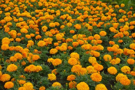 Plenty of orange flowers heads of Tagetes erecta Imagens