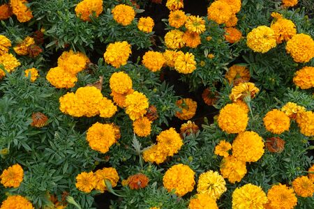 Shot of Tagetes erecta with orange flowers from above