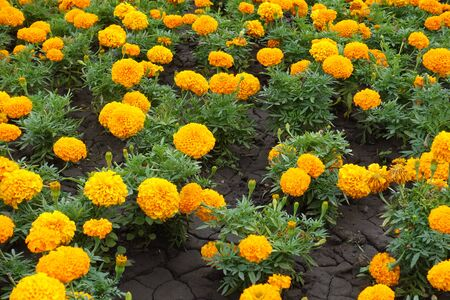 Small Tagetes erecta plants with orange flower heads
