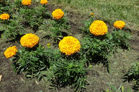 Tagetes erecta with orange flower heads in June