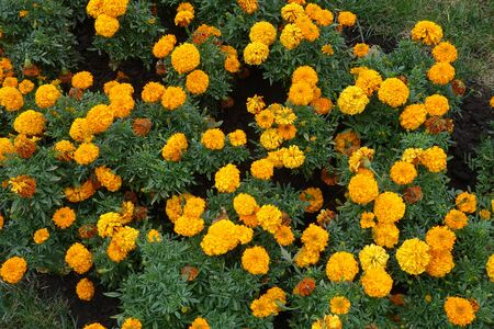 Top view of Tagetes erecta with orange flowers