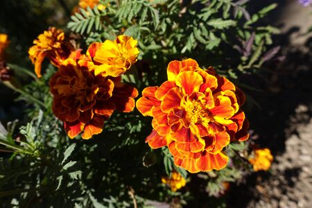 Bicolor orange and red flower heads of Tagetes patula