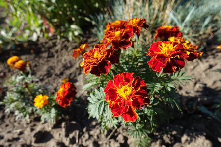 Dark red and yellow flower heads of Tagetes patula Imagens