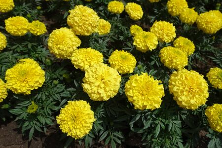 Light yellow flower heads of Tagetes erecta Imagens