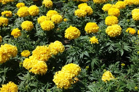 Many yellow flower heads of Tagetes erecta