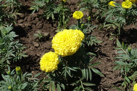 Pair of yellow flower heads of Tagetes erecta