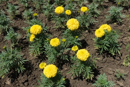 Several yellow flowers of Tagetes erecta in June