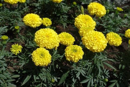 Tagetes erecta with bright yellow flower heads