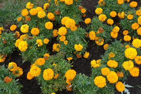 Mexican marigold with orange flower heads in September