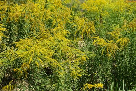 Golden yellow flowers of Solidago canadensis in August