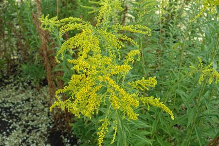 Yellow flowers of Solidago canadensis in mid summer Imagens