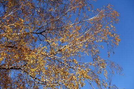 Amber yellow leaves of birch against blue sky in November