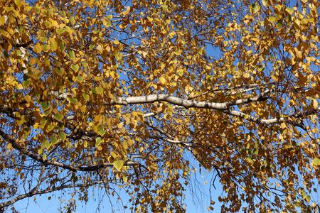 Birch branches with yellow leaves against blue sky in autumn