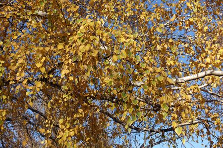 Branches of birch with yellow leaves in autumn
