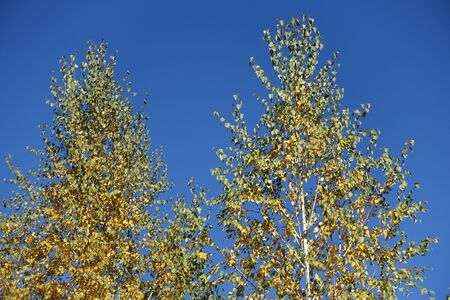Pair of birches against blue sky in October