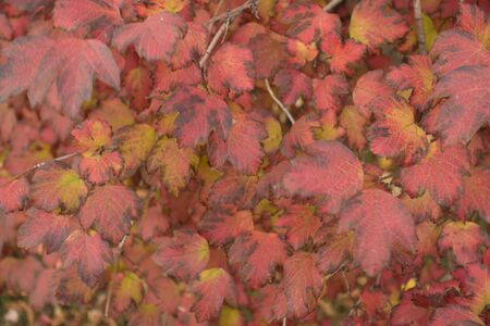 Green and red leaves of Viburnum opulus in mid October Imagens