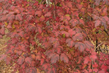 Red leaves of Viburnum opulus in mid October Imagens