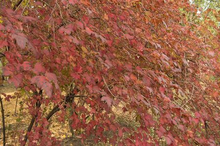 Viburnum opulus bush with red leaves in October