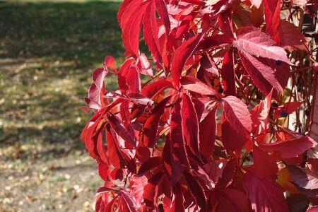 Crimson red leaves of Parthenocissus quinquefolia in October