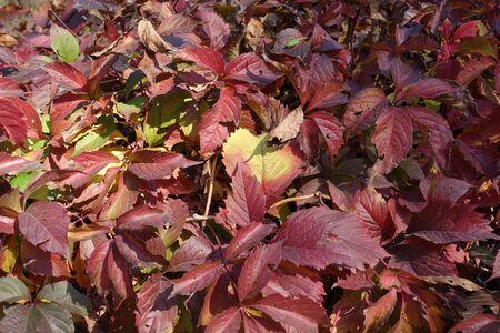 Multicolored leaves of Parthenocissus quinquefolia in October