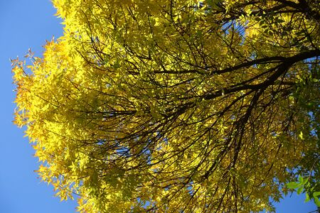 Branch of ash tree with yellow leaves against blue sky in October