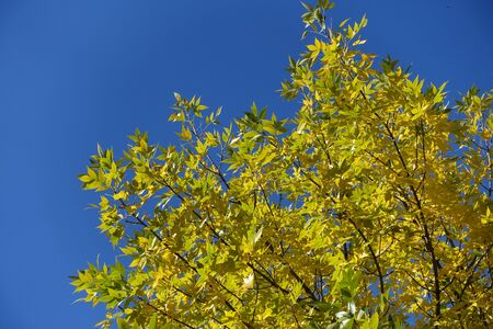 Branches of ash tree with yellow leaves against blue sky in October Imagens