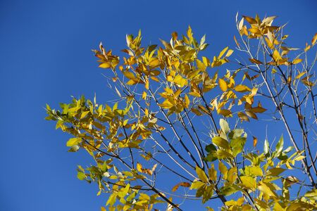 Several yellow leaves of ash tree against blue sky in October Imagens