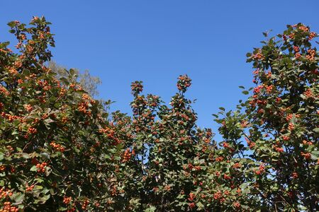Upright branches of Sorbus aria with orange berries against blue sky Imagens