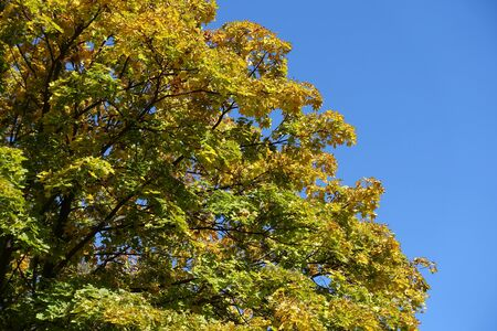 Autumnal foliage of Norway maple against blue sky