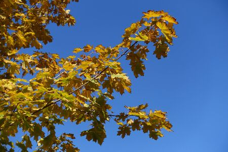 Branches of maple with autumnal foliage against blue sky Imagens