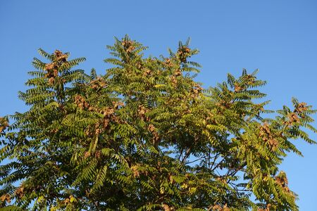 Ailanthus altissima with fruits against blue sky in October Imagens