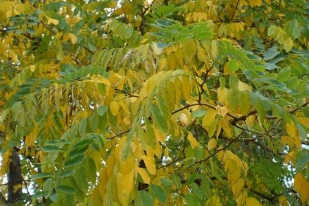 Autumnal foliage of black locust in October Imagens
