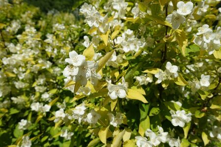 Branch of Philadelphus coronarius Aureus with white flowers and yellow leaves