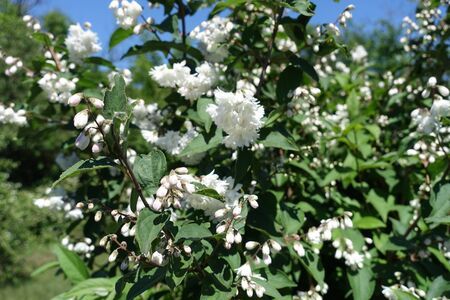 Buds and double white flowers of Deutzia against blue sky