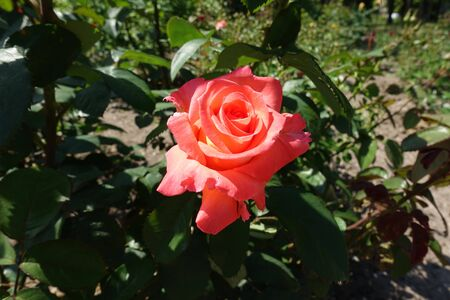 Close shot of salmon pink flower of garden rose