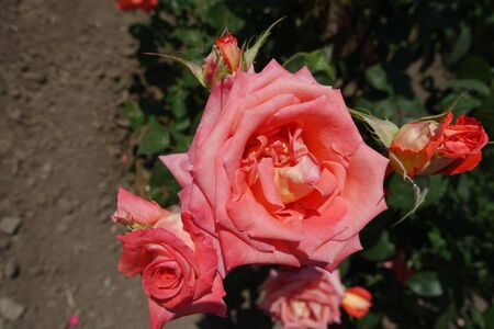 Tender salmon pink flowers of garden rose