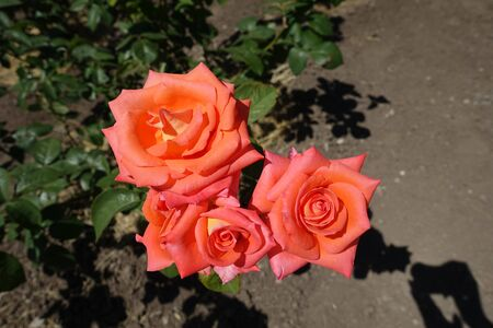 Three bright salmon pink flowers of garden rose Imagens