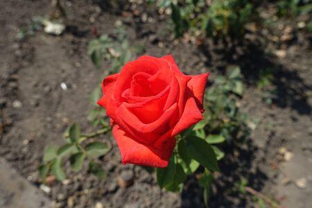 One red flower of garden rose in August