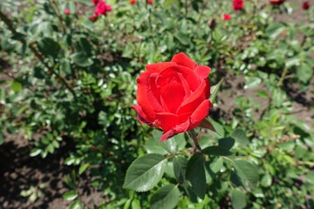 Single red flower of garden rose in May