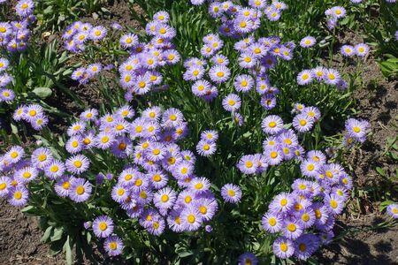 Lush flowers and foliage of Erigeron speciosus