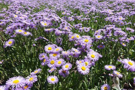 Plenty of violet flowers of Erigeron speciosus 版權商用圖片