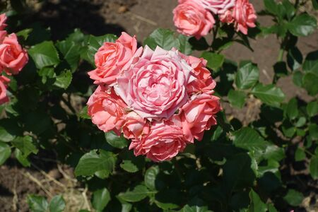 Several flowers of double pink garden rose