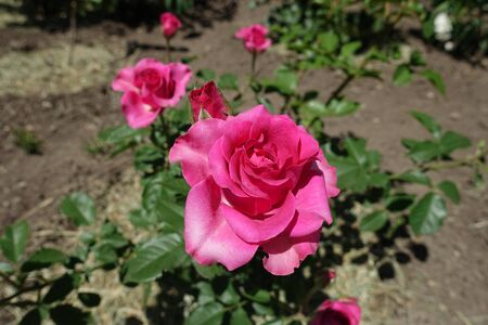 Vibrant pink flowers of garden rose in June