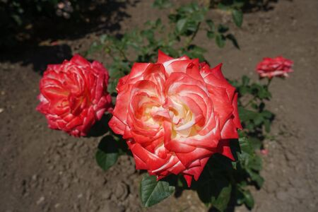 Two red and white flowers of rose in June 写真素材